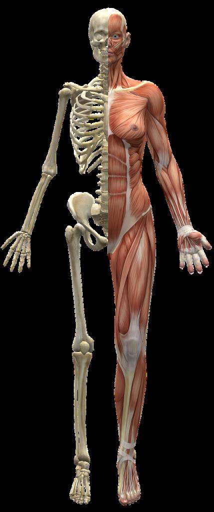 muscles, skeleton, half body-2277447.jpg